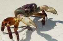 koh tachai crab