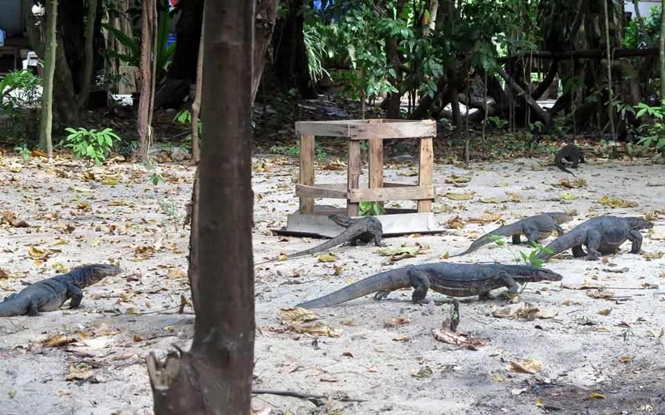 Monitor lizards at Surin