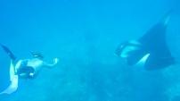 snorkeler and manta