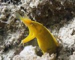yellow ribbon eel