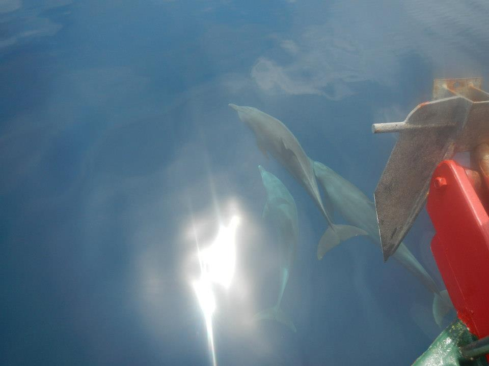 Dolphins Surin Islands