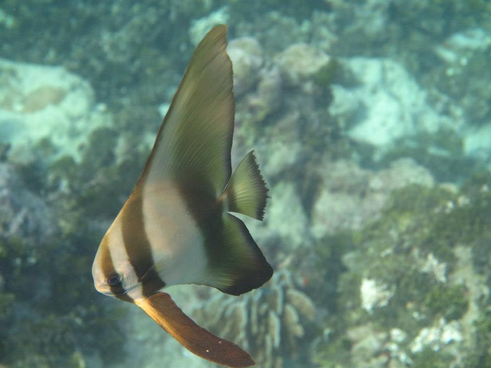 juvenile batfish