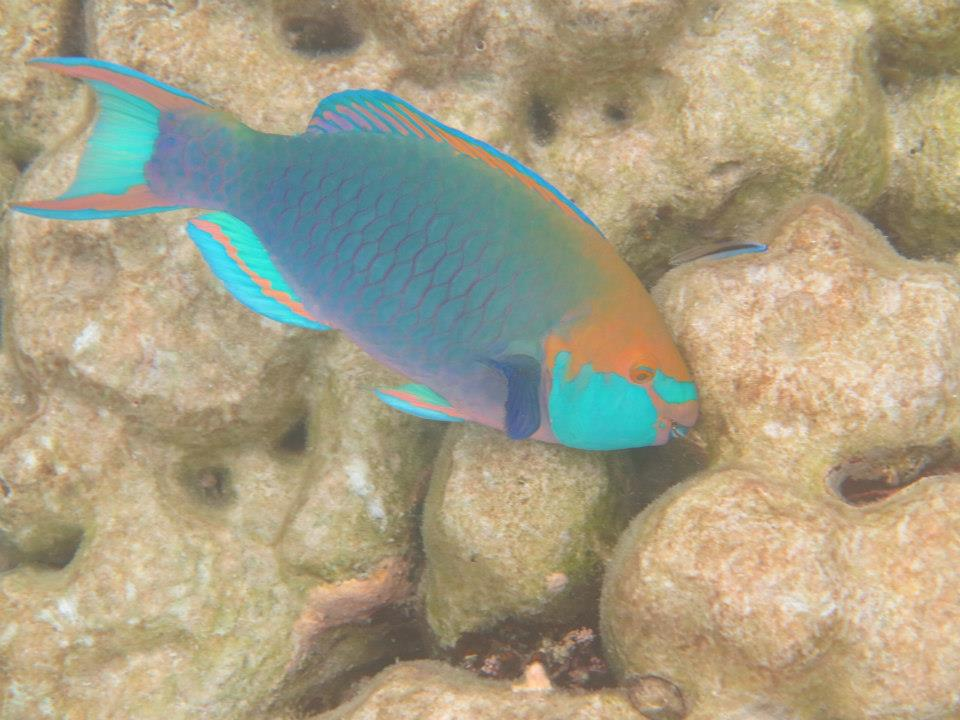 Parrot fish Similan Islands