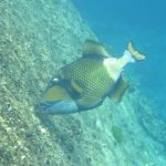 triggerfish Similan Islands