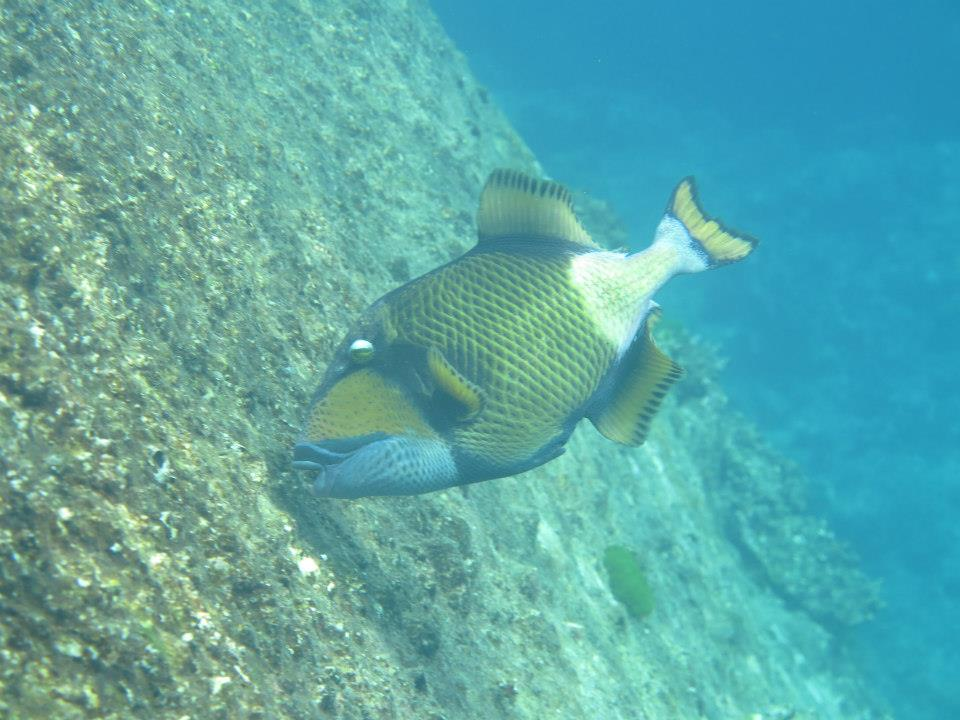triggerfish Similan Islands