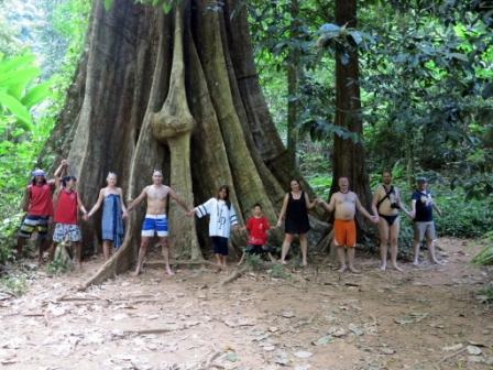koh yao big tree