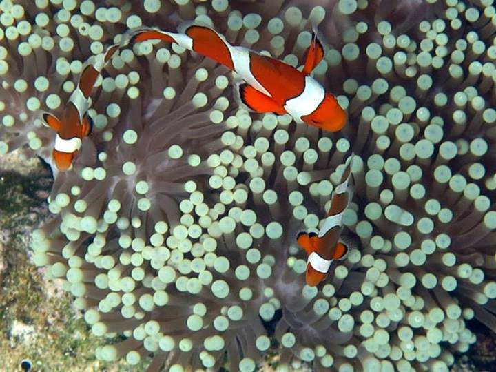 Clownfish snorkeling thailand for What do clown fish eat