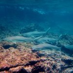 Black tip reef sharks at Phi Phi