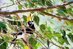 Hornbill Banana beach