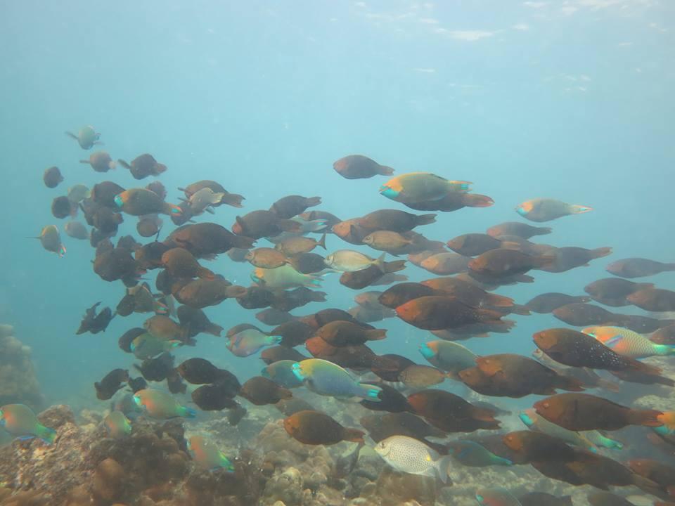 Phi Phi parrot fish