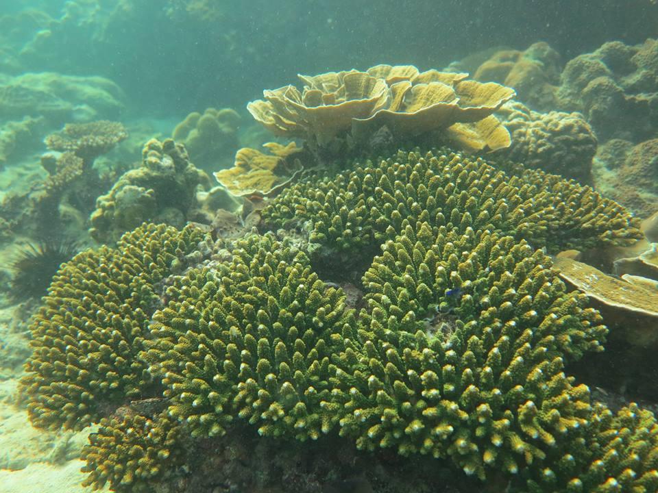 Phi Phi coral