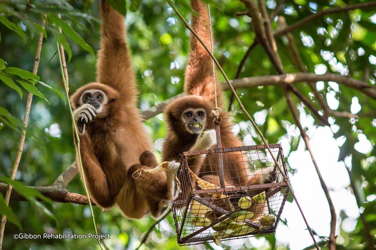 Phuket Gibbon rehab